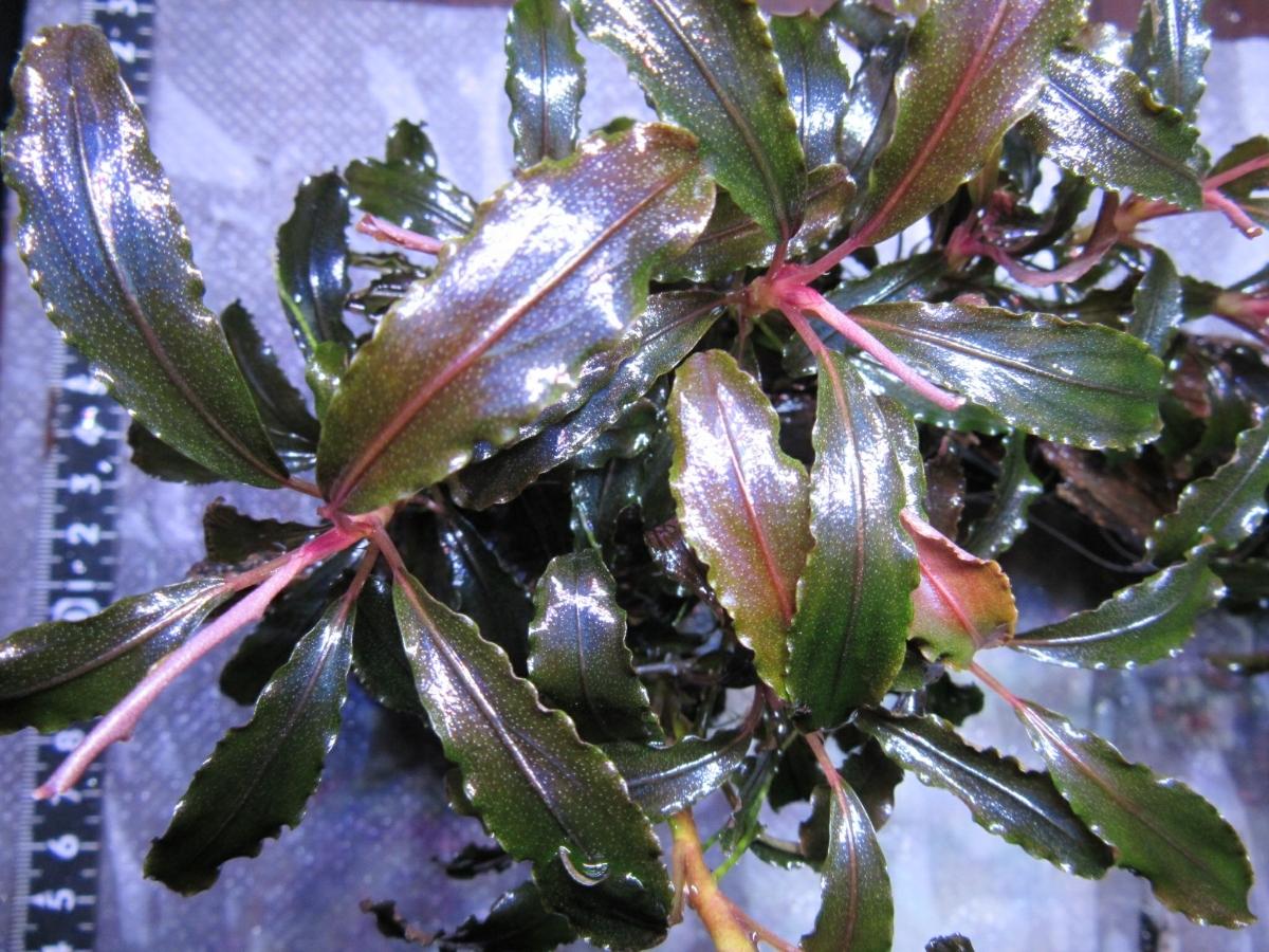 《水の草》ブセファランドラspクダガン 流木活着 極美品極 無農薬