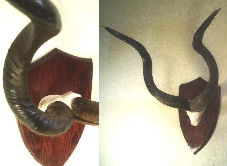 トロフィー 洗練 クーズー マウント シールド 壁掛 オブジェ ♯ 剥製 教材 生物 解剖学 美術 インテリア 骨格 模型 解剖 標本_画像1