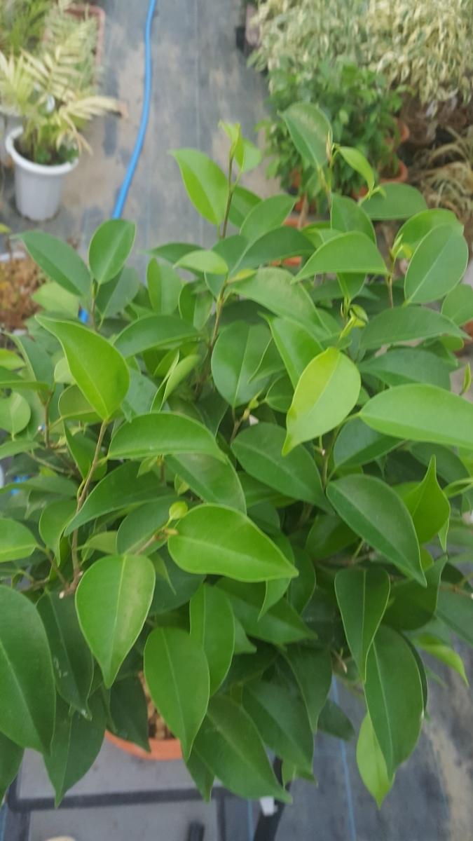 定番観葉植物。ベンジャミン。6号プラ鉢4_画像2