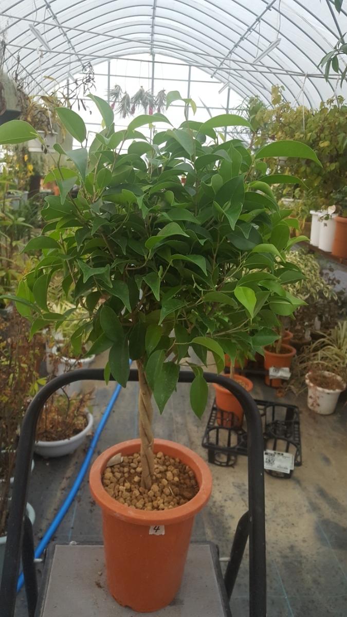 定番観葉植物。ベンジャミン。6号プラ鉢4_画像1