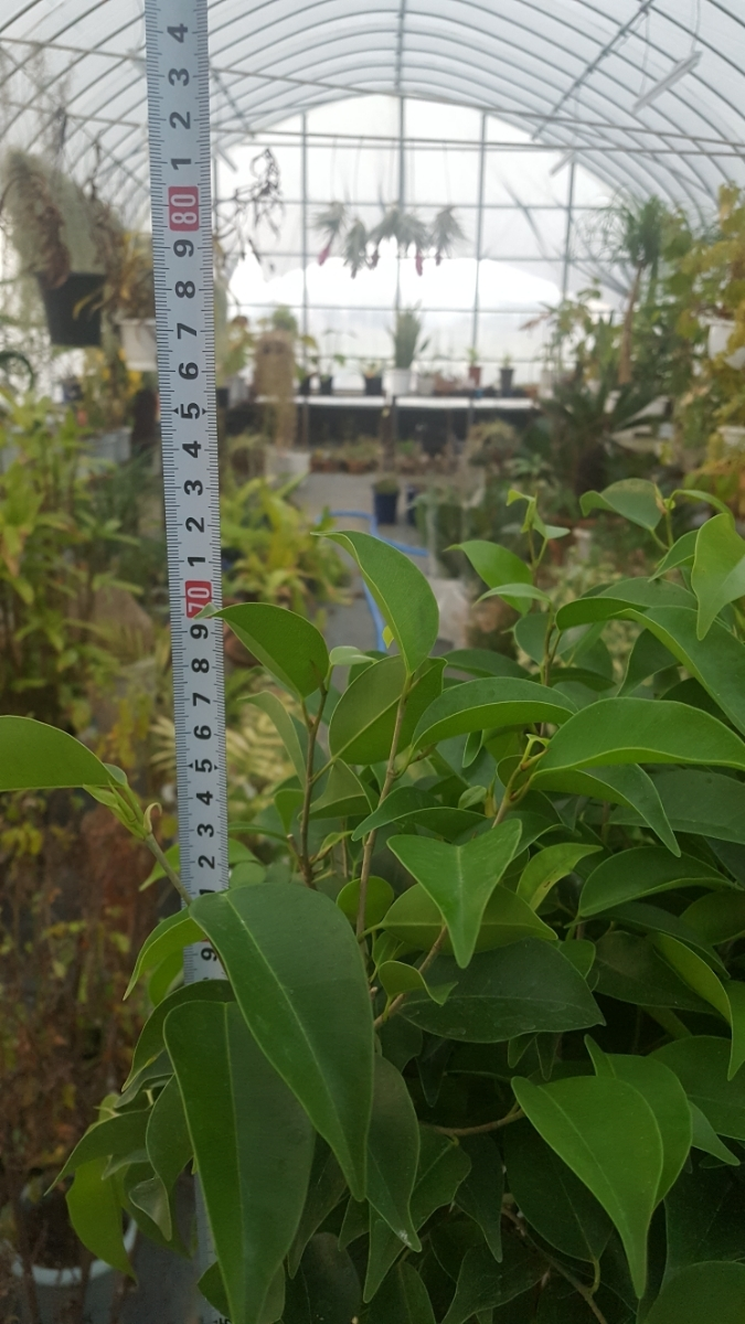 定番観葉植物。ベンジャミン。6号プラ鉢4_画像3