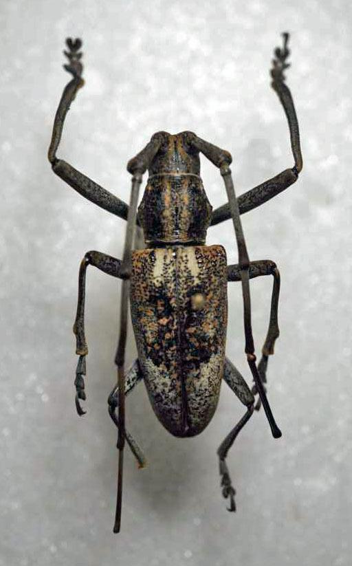 標本 345-53 激レア パプアニューギニア産 カミキリムシ Cerambycidae 体長約33.7mm 訳有り特価_画像1