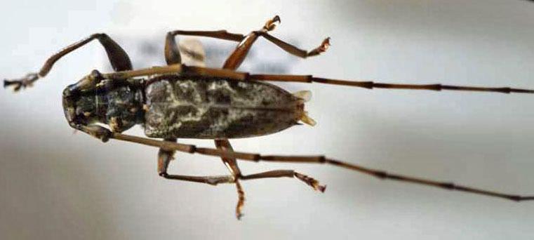 標本 345-1 稀少 ソロモン/パプアニューギニア産 カミキリムシ Cerambycidae 2ex 訳有り特価_画像2