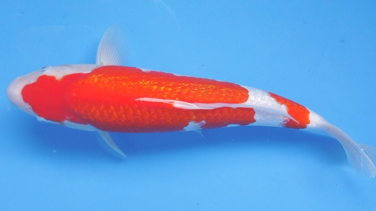 『我ら~勝負鯉♪』 浩祐 極上の銀吹き 二段銀鱗紅白 2歳 40cm 生産証明付き_画像3