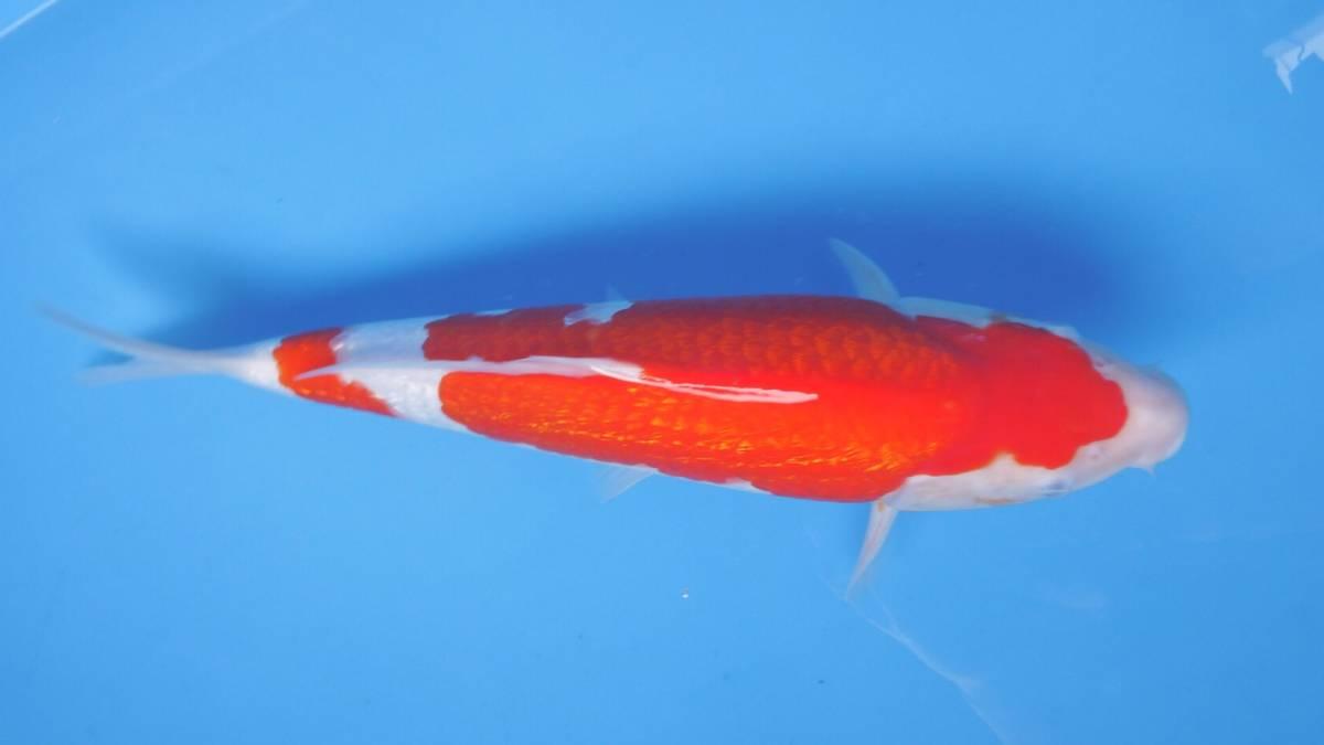 『我ら~勝負鯉♪』 浩祐 極上の銀吹き 二段銀鱗紅白 2歳 40cm 生産証明付き_画像4