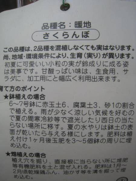 暖地桜桃サクランボ苗木_画像2