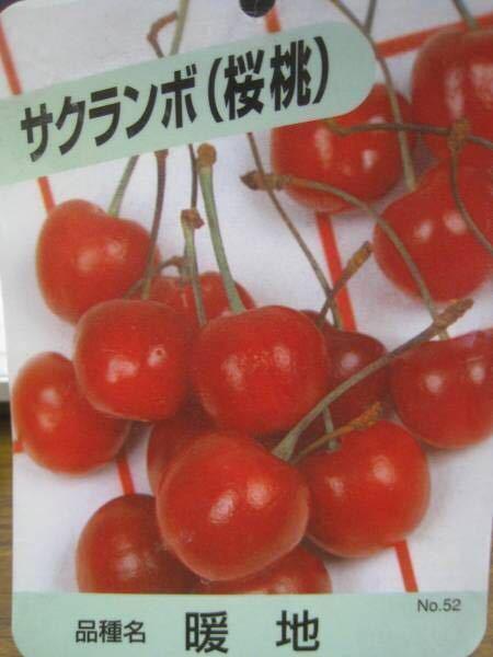 暖地桜桃サクランボ苗木_画像1