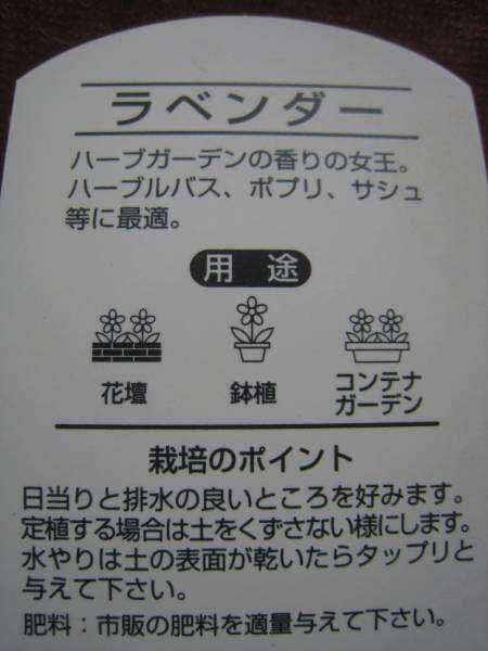 ラベンダー(さわやかな香り)苗2ポット_画像2