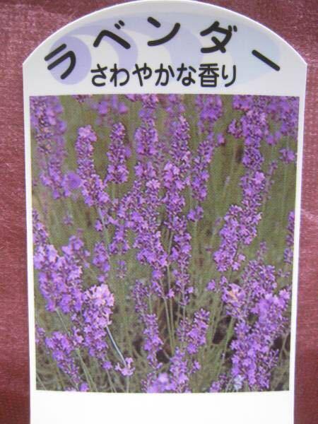 ラベンダー(さわやかな香り)苗2ポット_画像1