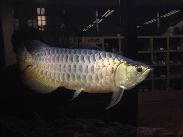 アロワナライト でんらい アジアアロワナ LED 水中照明 水中蛍光灯 アクアリウム 過背金 90cm水槽 型番AK90_画像7