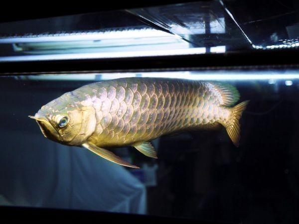 アロワナライト でんらい アジアアロワナ LED 水中照明 水中蛍光灯 アクアリウム 過背金 90cm水槽 型番AK90_画像5