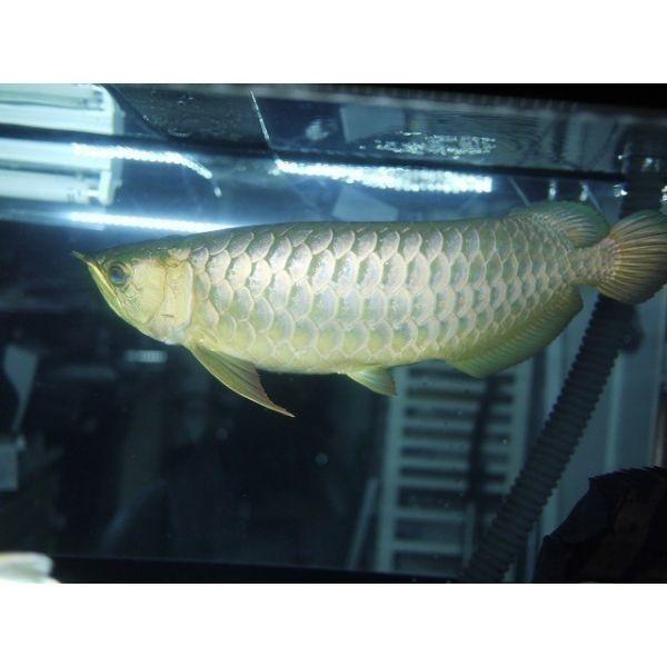 アロワナライト でんらい アジアアロワナ LED 水中照明 水中蛍光灯 アクアリウム 過背金 90cm水槽 型番AK90_画像9