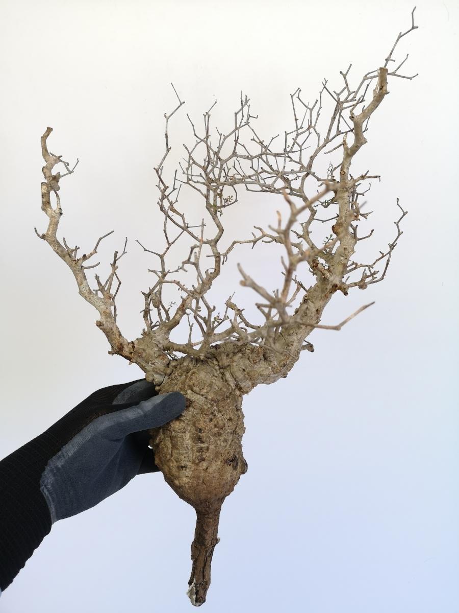 11 オペルクリカリア パキプス Operculicarya pachypus 選抜苗_画像2
