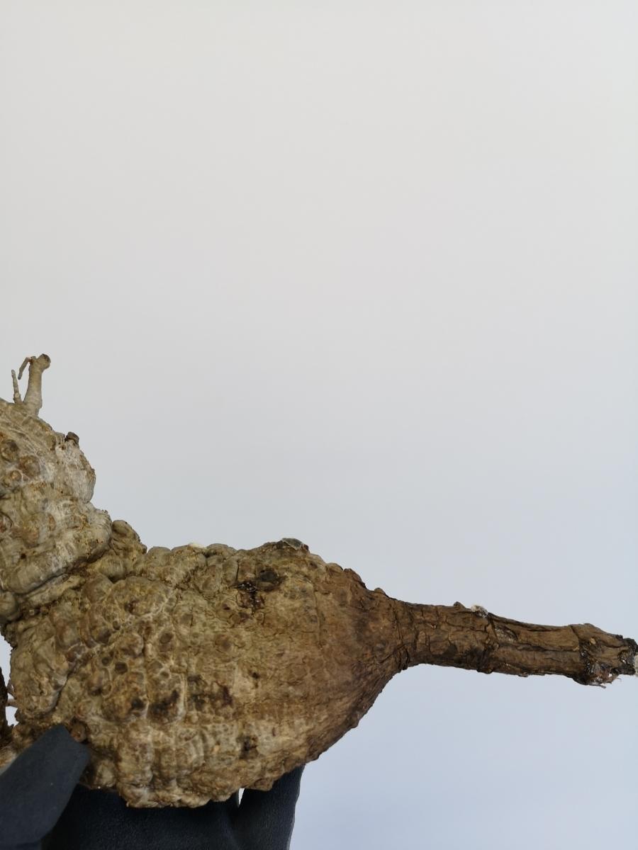 11 オペルクリカリア パキプス Operculicarya pachypus 選抜苗_画像5