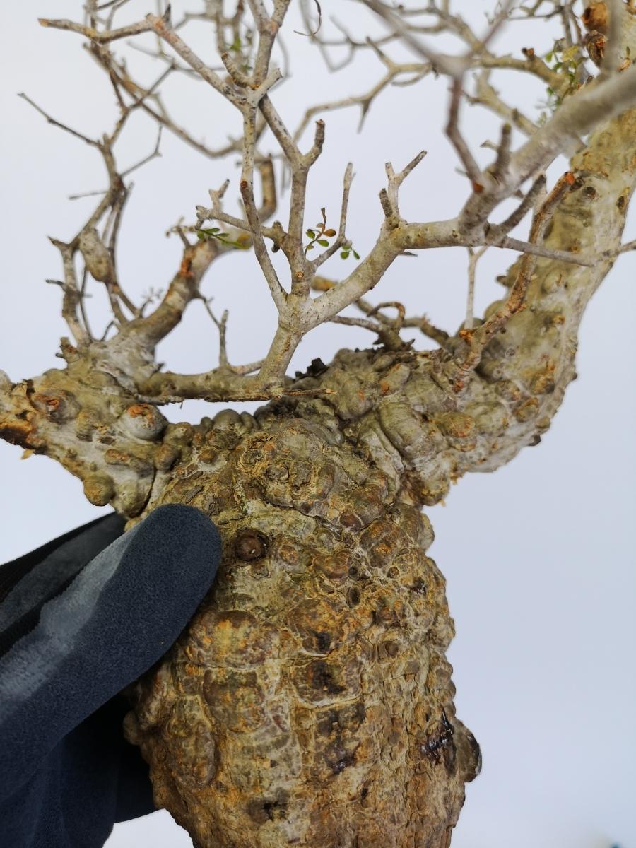 11 オペルクリカリア パキプス Operculicarya pachypus 選抜苗_画像3