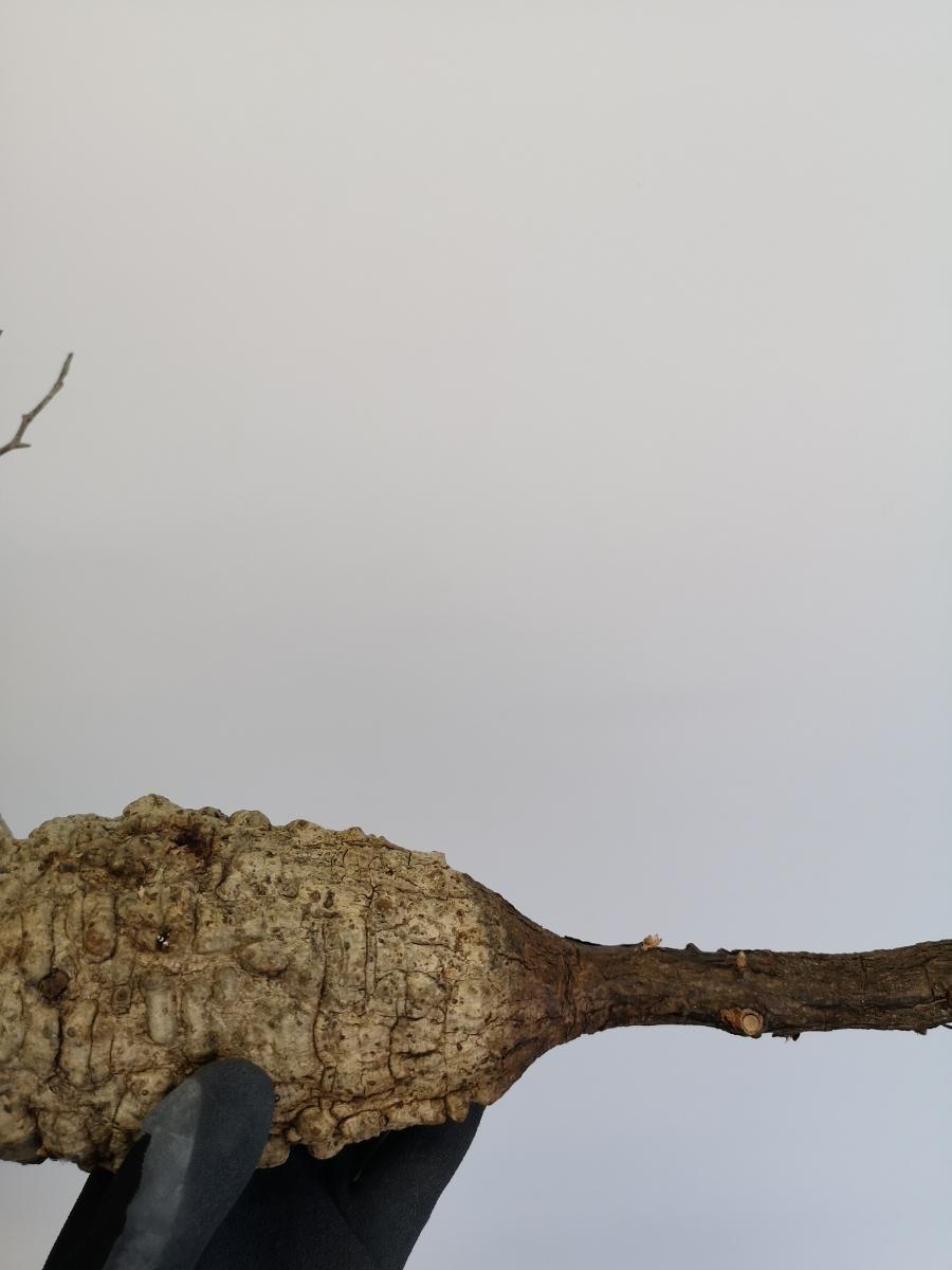 15 オペルクリカリア パキプス Operculicarya pachypus 大_画像6