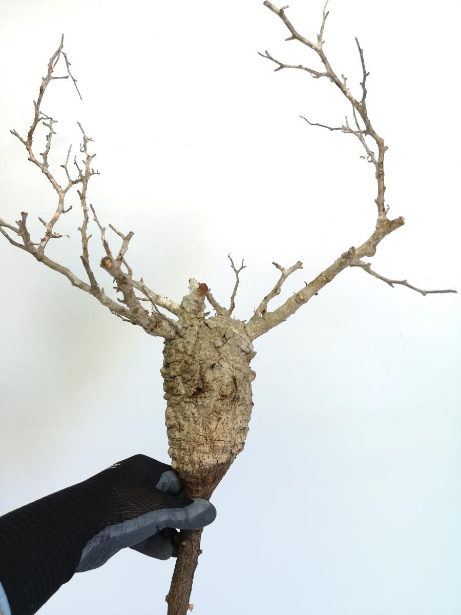 15 オペルクリカリア パキプス Operculicarya pachypus 大