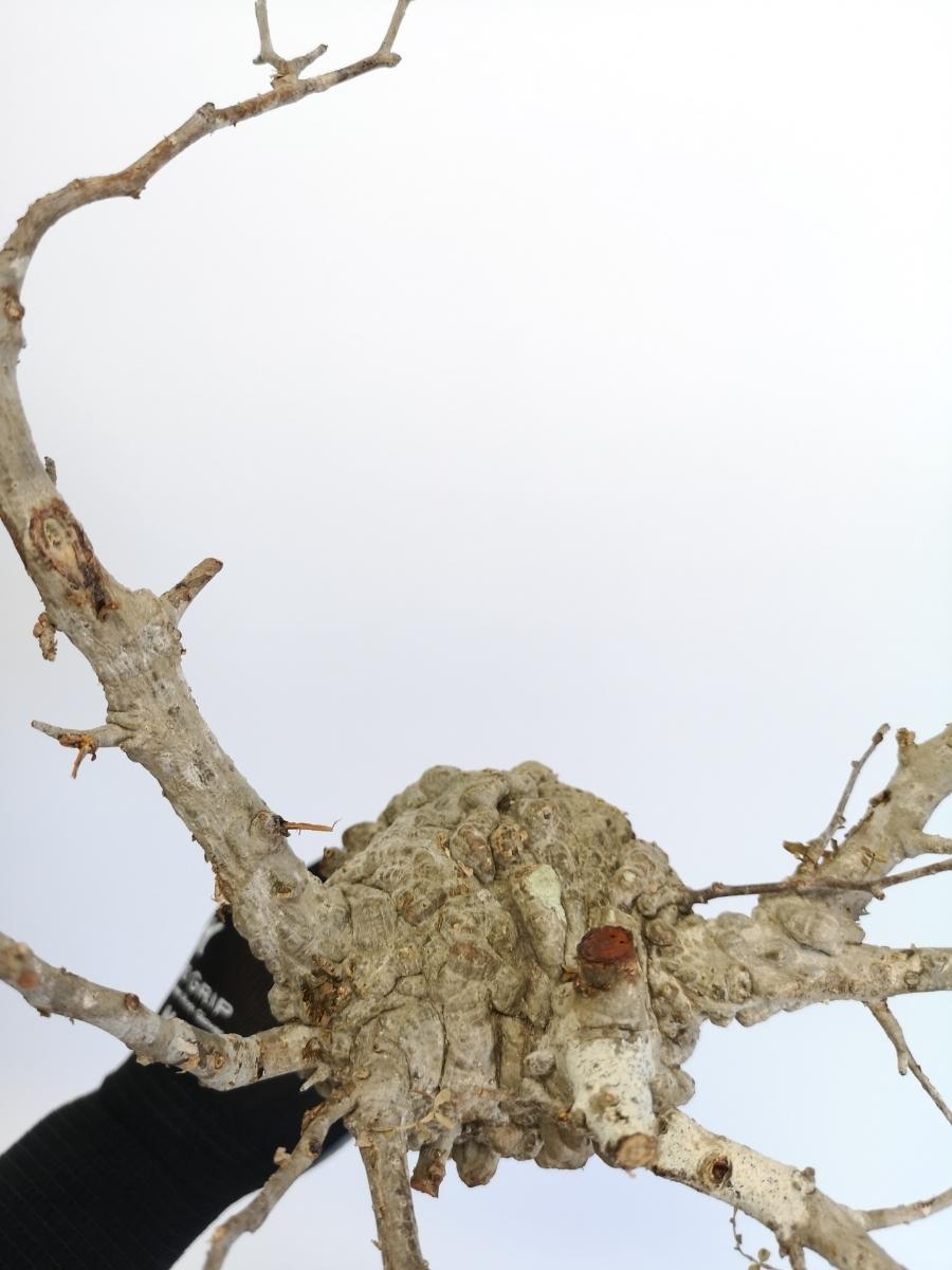15 オペルクリカリア パキプス Operculicarya pachypus 大_画像4