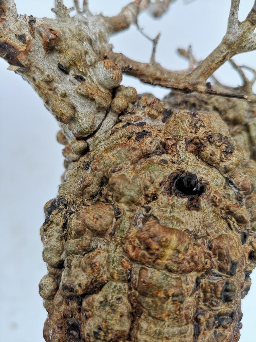 11 オペルクリカリア パキプス Operculicarya pachypus 選抜苗_画像7