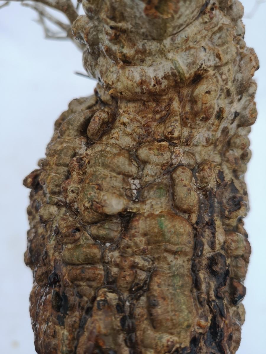 11 オペルクリカリア パキプス Operculicarya pachypus 選抜苗_画像6