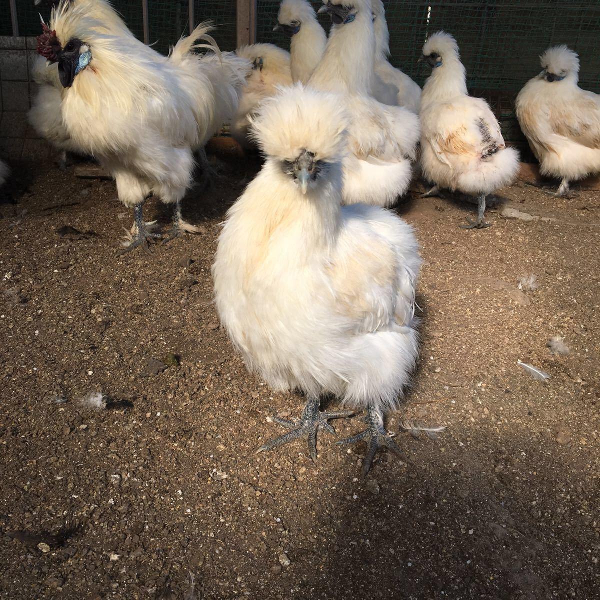 烏骨鶏 翡翠鷄 五個のお値段で1つ割れ保証です_画像7