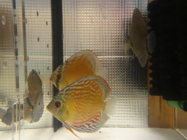 ワイルドクロス F6 若魚 3匹セット-1_画像3