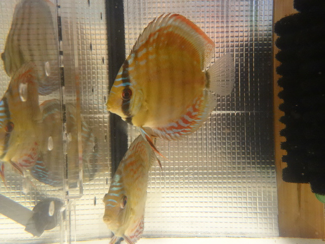 ワイルドクロス F6 若魚 3匹セット-1_画像4