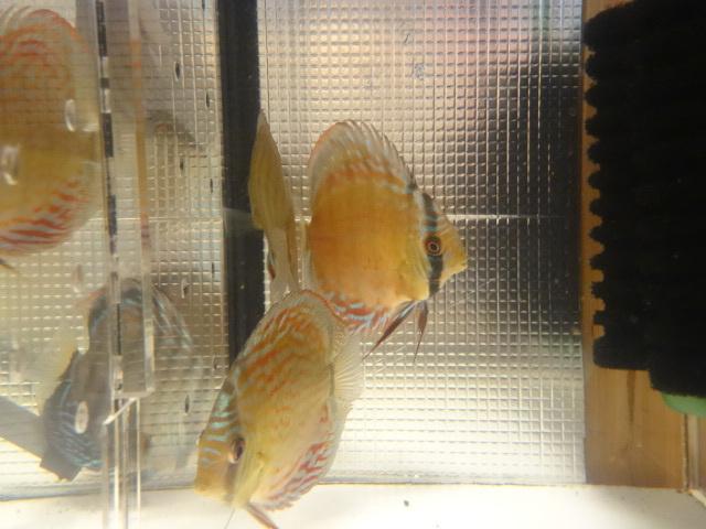 ワイルドクロス F6 若魚 3匹セット-1_画像5