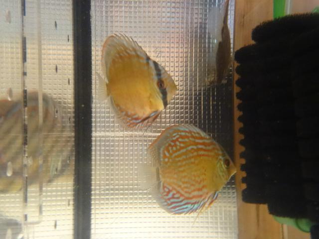 ワイルドクロス F6 若魚 3匹セット-1_画像8