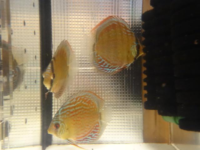 ワイルドクロス F6 若魚 3匹セット-1_画像7
