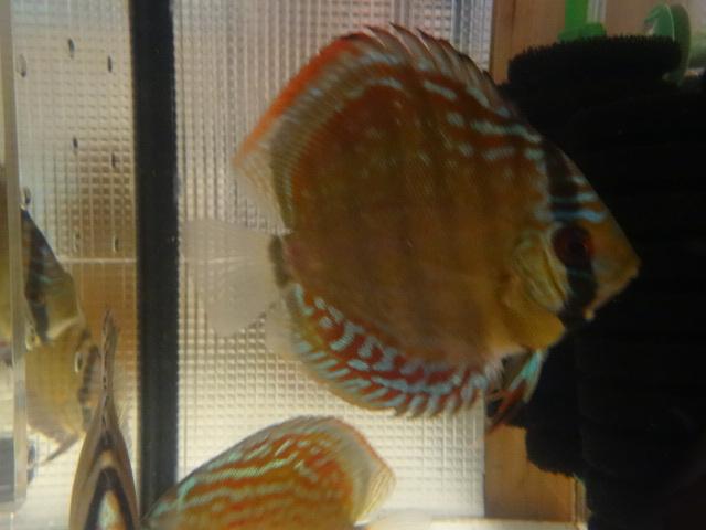 ワイルドクロス F6 若魚 3匹セット-1_画像10