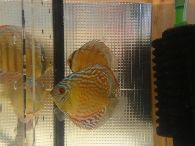 ワイルドクロス F6 若魚 3匹セット-1_画像2