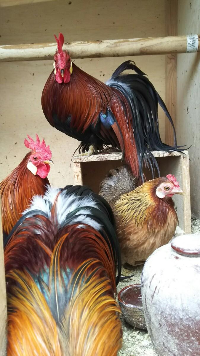 蓑曳矮鶏 赤笹の有精卵5個+割れ保証3個_画像2