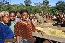 【10㎏】コーヒー生豆 エチオピア イリガチャフ G-1 コチャレ ナチュラル 生豆 プレミアムコーヒー 自家焙煎 カフェ 送料無料_画像2