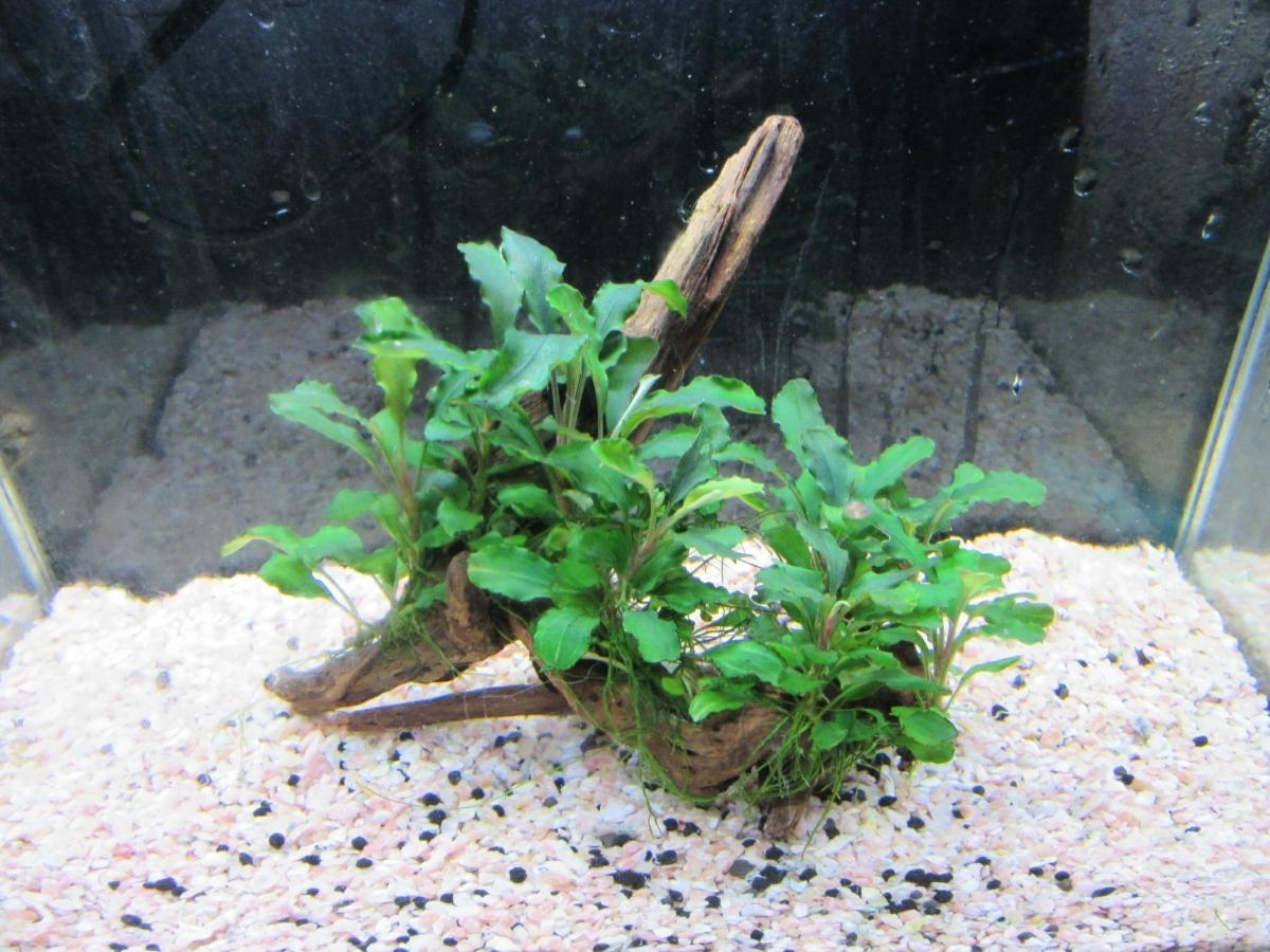 《水の草》ブセファランドラspシンタン 流木活着 無農薬