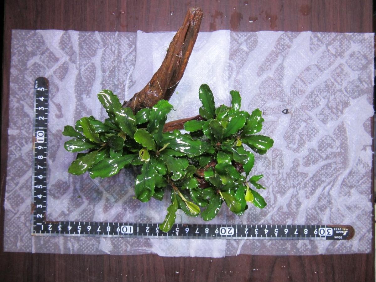 《水の草》ブセファランドラspシンタン 流木活着 無農薬 _画像2