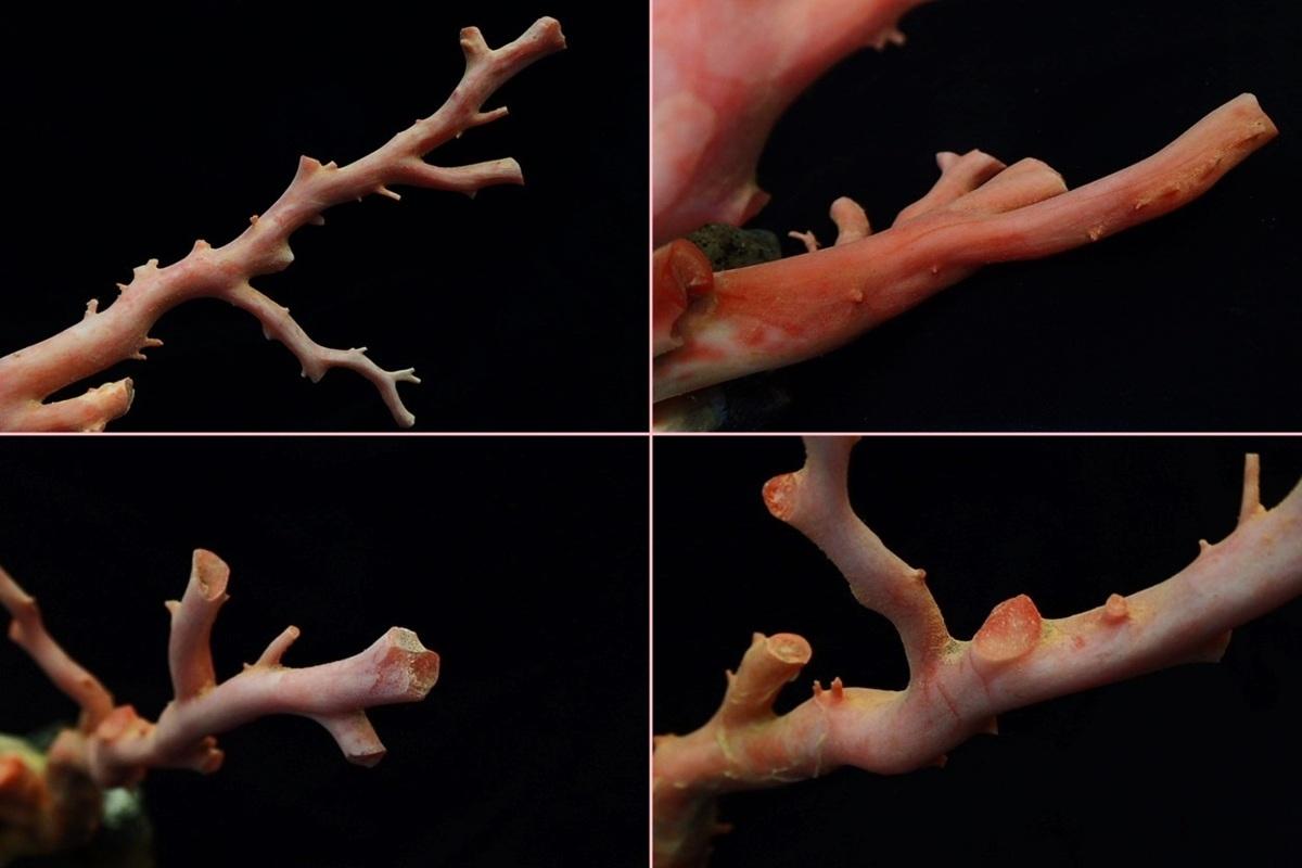 天然本珊瑚 原木 地元高知 土佐沖 置物 全長約24㎝ 最大直径2.2cm 総重量1220g(石含む) サンゴ さんご_画像6