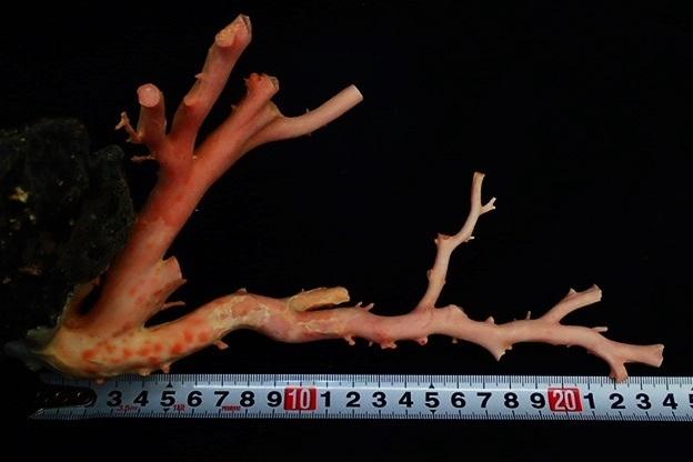 天然本珊瑚 原木 地元高知 土佐沖 置物 全長約24㎝ 最大直径2.2cm 総重量1220g(石含む) サンゴ さんご_画像7