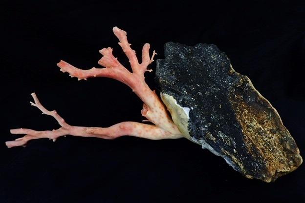 天然本珊瑚 原木 地元高知 土佐沖 置物 全長約24㎝ 最大直径2.2cm 総重量1220g(石含む) サンゴ さんご_画像3