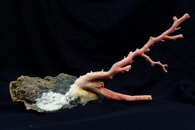 天然本珊瑚 原木 地元高知 土佐沖 置物 全長約24㎝ 最大直径2.2cm 総重量1220g(石含む) サンゴ さんご_画像2