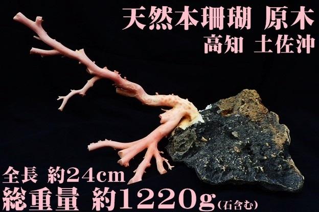 天然本珊瑚 原木 地元高知 土佐沖 置物 全長約24㎝ 最大直径2.2cm 総重量1220g(石含む) サンゴ さんご_画像1