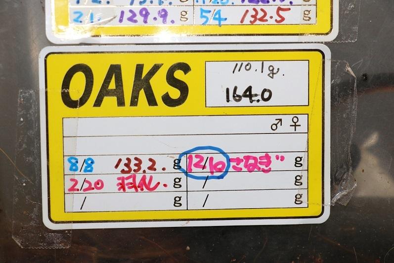 Amazonico★★★★ヘラクレス・ヘラクレス 164mm直仔2令2ペア★★★★_画像2