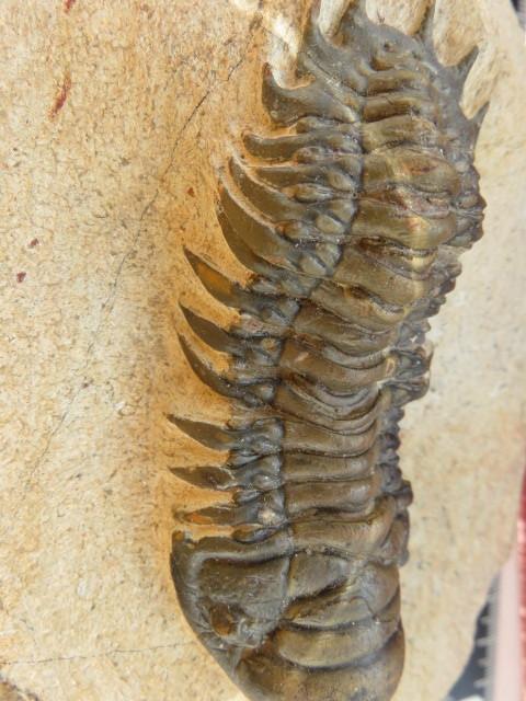 ■■ 三葉虫 ■ Crotalocephalus  gibbus ■■ 標本 化石 鉱物 _画像6