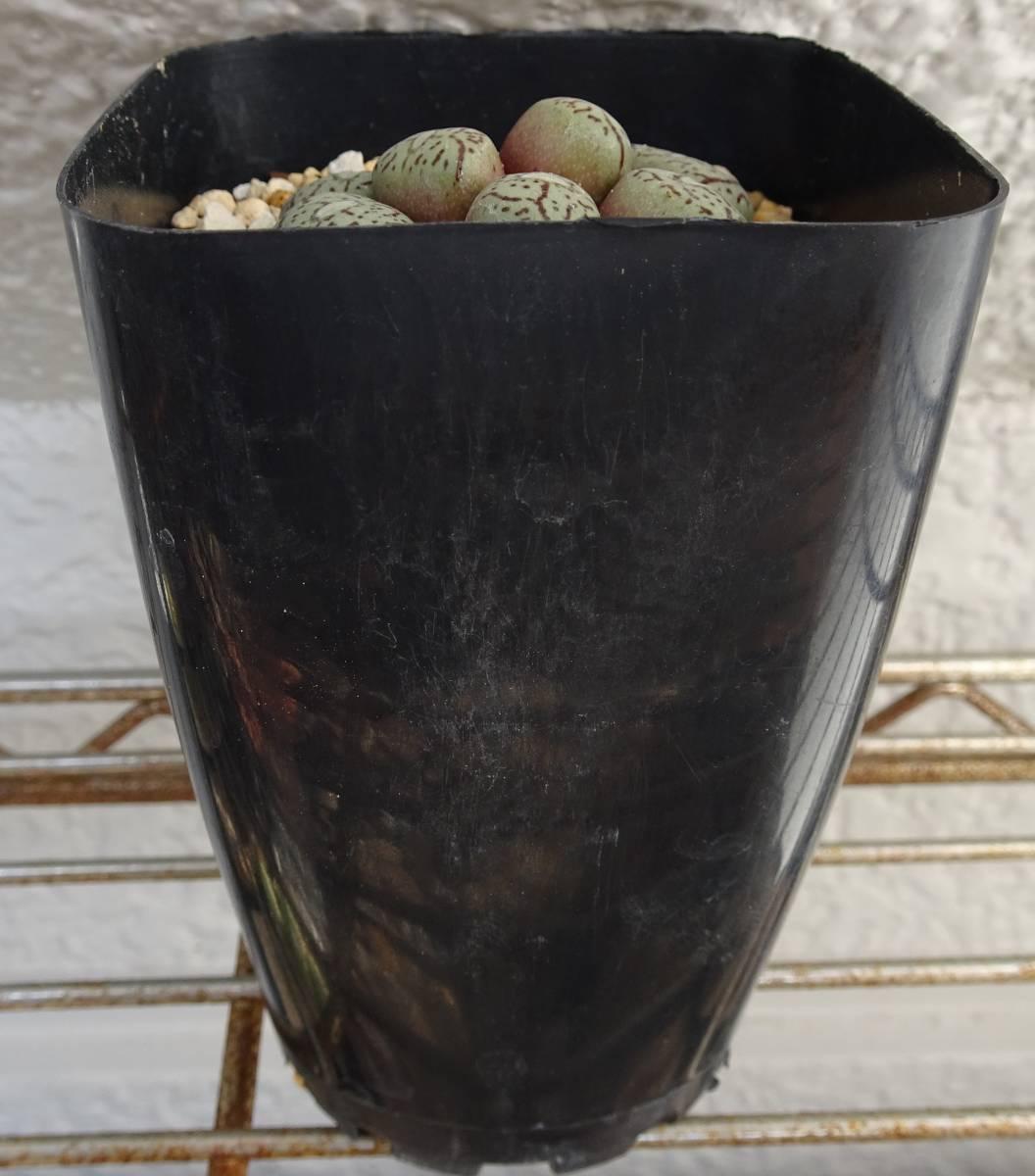 コノフィツム ウイッテゲルベンセ(wittebergense klipfontein)7頭株。   多肉植物 メセン ウイツテベルゲンゼ_画像4