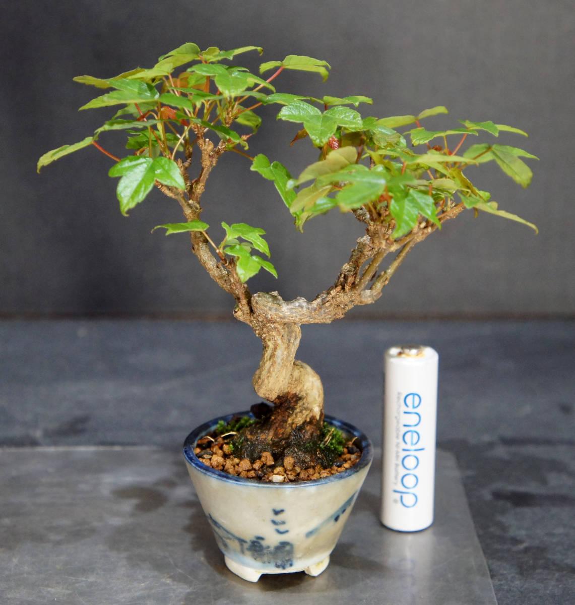 楓 ミニ盆栽 奥行10.5cm 横幅12cm 高さ12.5cm_画像2