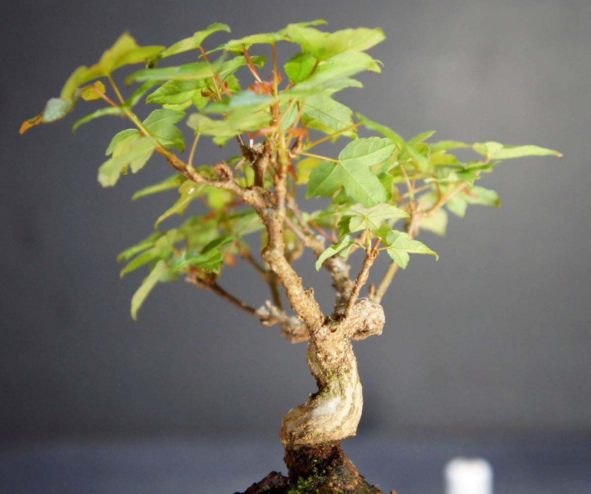 楓 ミニ盆栽 奥行10.5cm 横幅12cm 高さ12.5cm_画像7