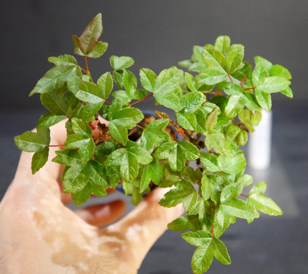 楓 ミニ盆栽 奥行10.5cm 横幅12cm 高さ12.5cm_画像3
