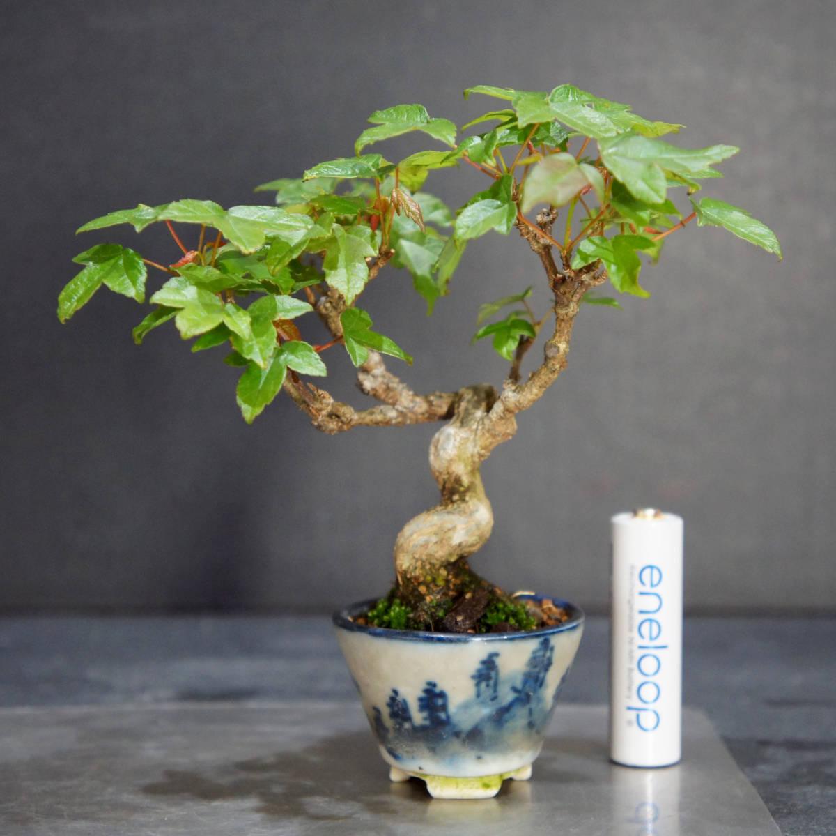 楓 ミニ盆栽 奥行10.5cm 横幅12cm 高さ12.5cm_画像1