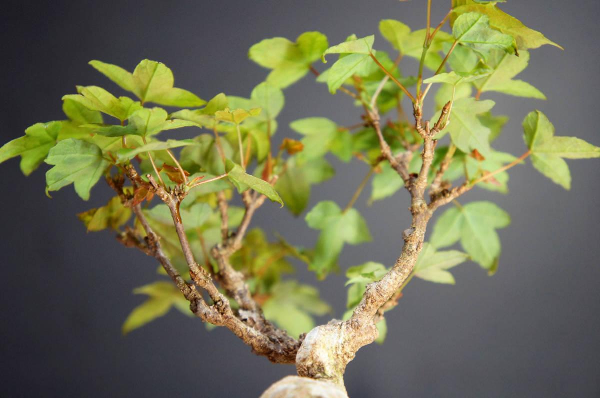 楓 ミニ盆栽 奥行10.5cm 横幅12cm 高さ12.5cm_画像5