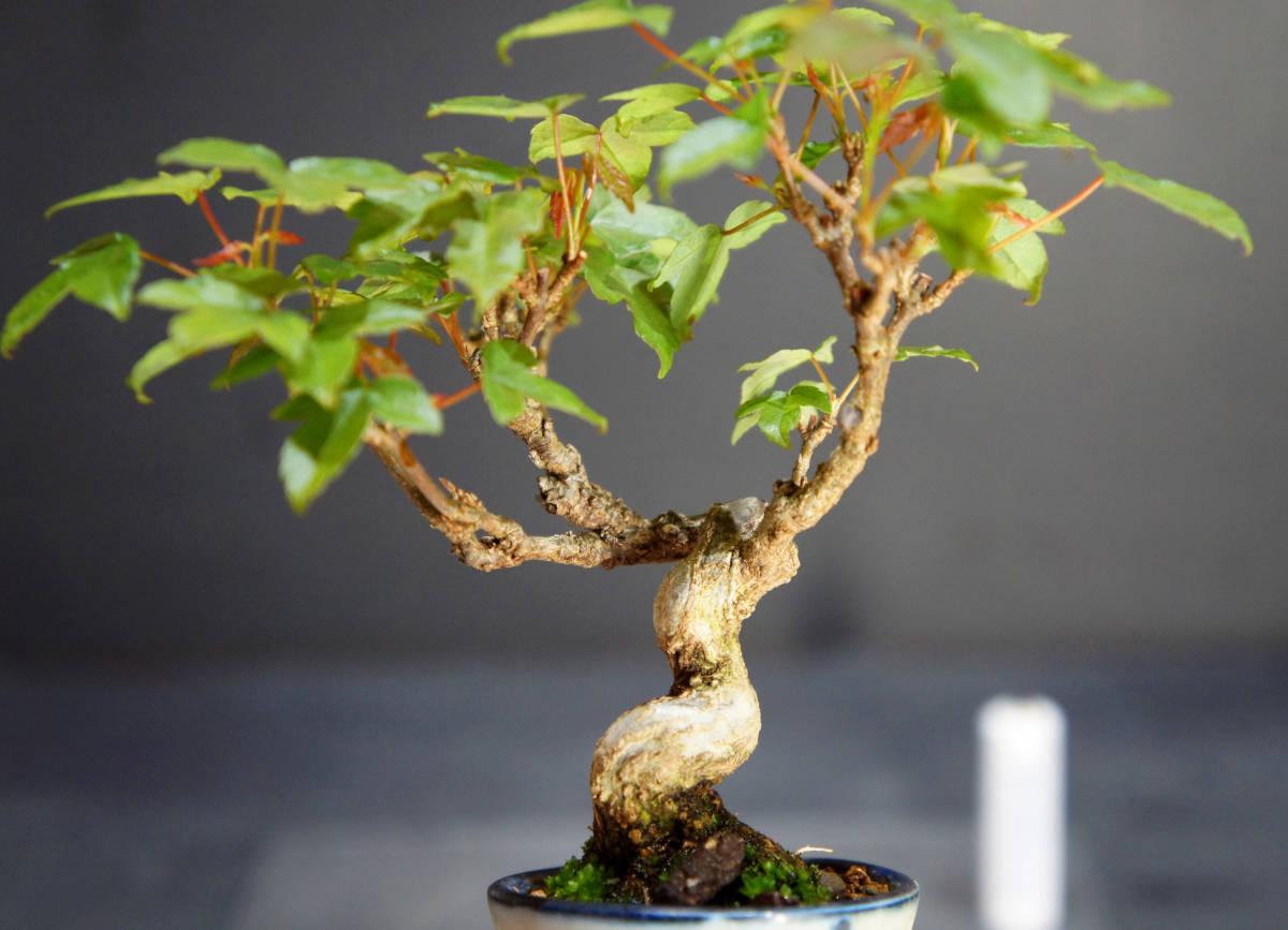 楓 ミニ盆栽 奥行10.5cm 横幅12cm 高さ12.5cm_画像4